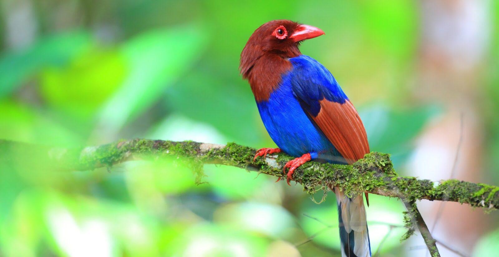 Sinharaja birding tour photo of Blue Magpie