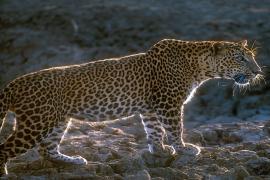 Leopard safari Yala national park backlit male leopard
