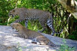 Leopard safari Yala national park male and female on rock