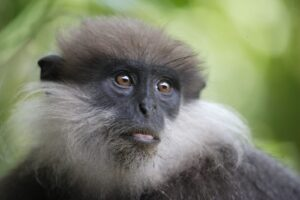 Sri Lanka wildlife holiday photo of purple faced monkey